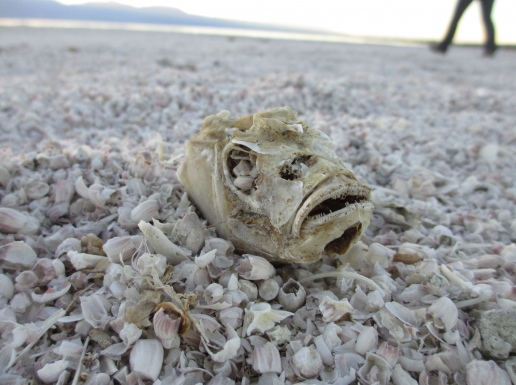 Tilapia head at the Salton Sea.