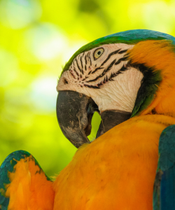 Close-up of a blue-and-yellow macaw with its face turned to the side, beak ajar and tucked into its neck.