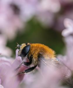 A single bee feeding from a small purple flower