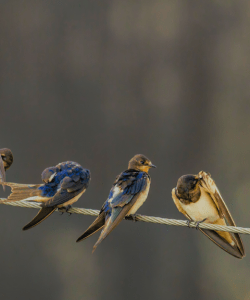 Three swallows perched on a wire