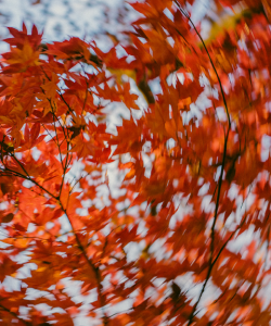 A canopy of orange leaves. The image becomes blurred in a circular pattern toward the outer edges of the image, creating an effect that makes the viewer feel as if they are spinning.