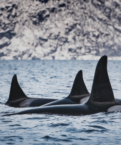 Three orca fins emerge out of the water in the wild