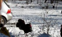 Turkeys attack author Bonnie Jo Campbell
